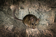 A bushy-tailed woodrat (Neotoma cinerea) in the interior of the abandoned Gold Stake Mine, Coleville National Forest, Washington.