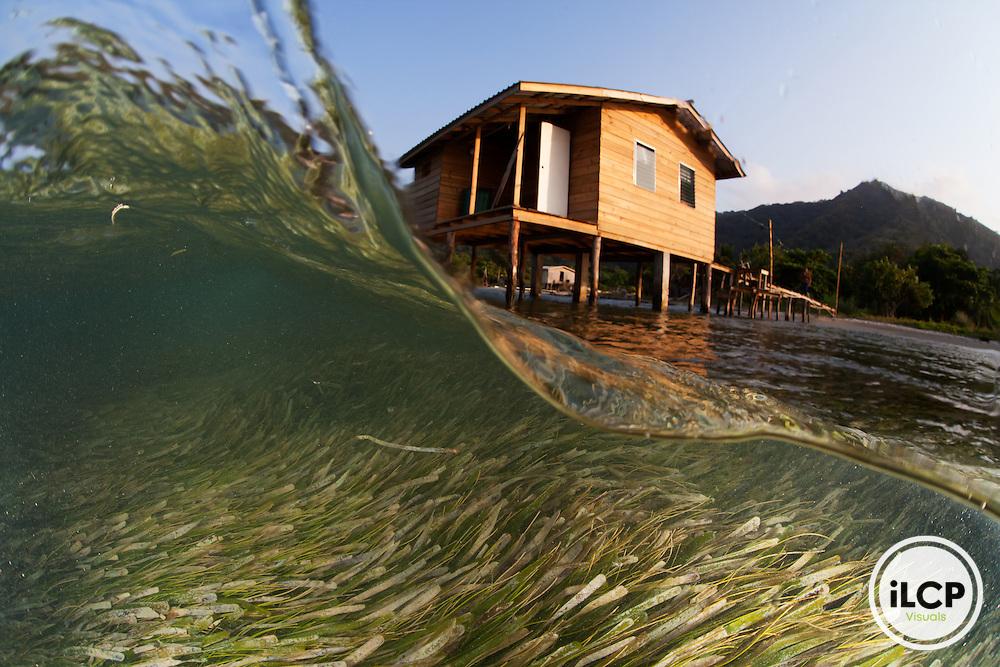 Healthy Turtle Grass (Thalassia testudinum) and houses on stilts, grass providing protection against hurricanes, Northeast Bight, Guanaja Island, Bay Islands, Honduras, April
