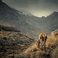 Young red deer, Coruisk, Isle of Skye, Scotland