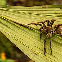Viewing a tarantula spider on a green leaf during a nature walk in Casual off of the Marañon River. Pacaya Samiria National Reserve, Upper Amazon, Peru.