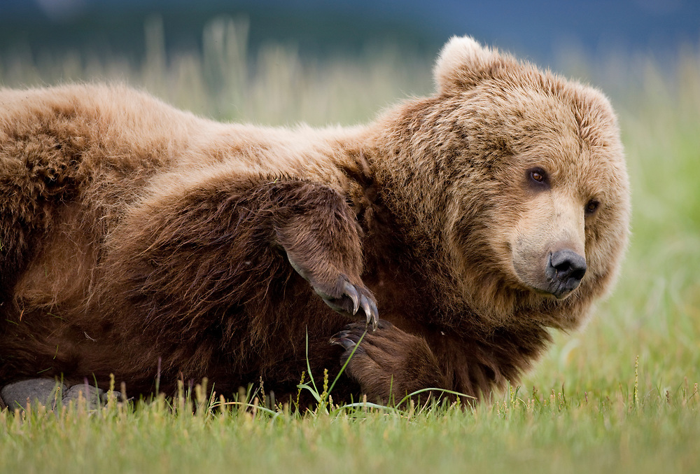 USA, Alaska, Katmai National Park, Brown Bear (Ursus arctos) resting in meadow along Hallo Bay