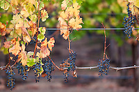 Alexander Valley Wine Grapes in Fall, Sonoma County, California