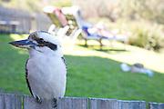 Kookaburra sitting on the fence.