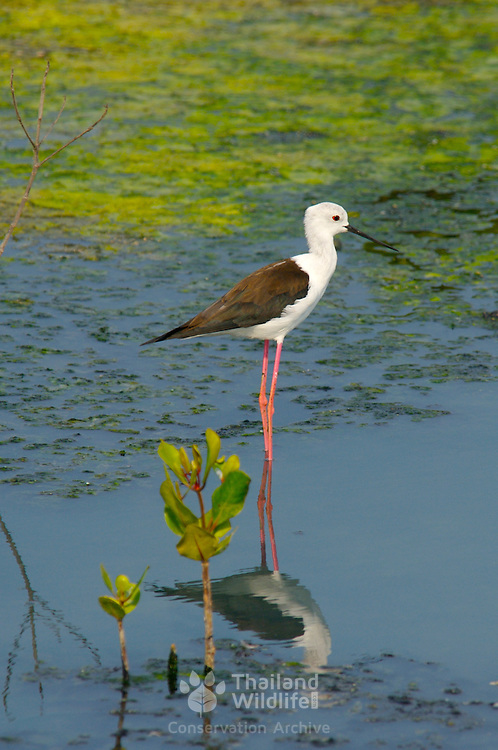 Black Winged Stilt, Himantopus himantopus