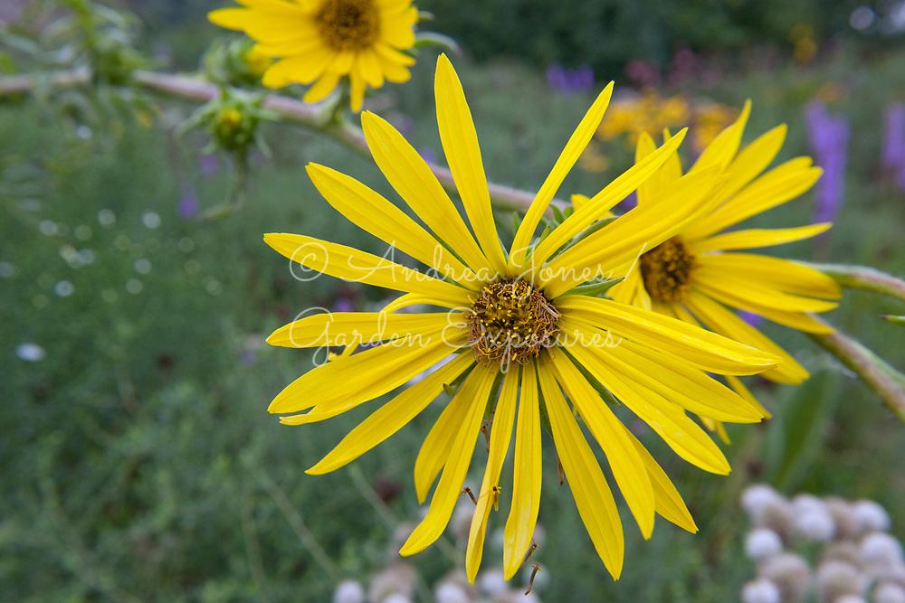 Silphium laciniatum (Compass plant)