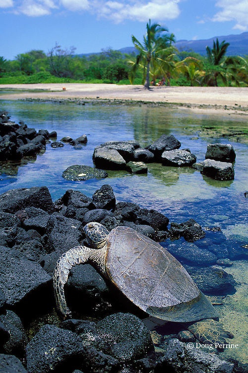 green sea turtle, Chelonia mydas, basking in the sun on lava rocks in intertidal zone, Kaloko-Honokohau National Historic Park, Kona, Hawaii, USA ( Central Pacific Ocean )