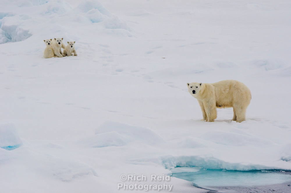 Polar Bear sow with three cubs on the sea ice at 80˚ 50' above Svalbard archipeligo, Norway.