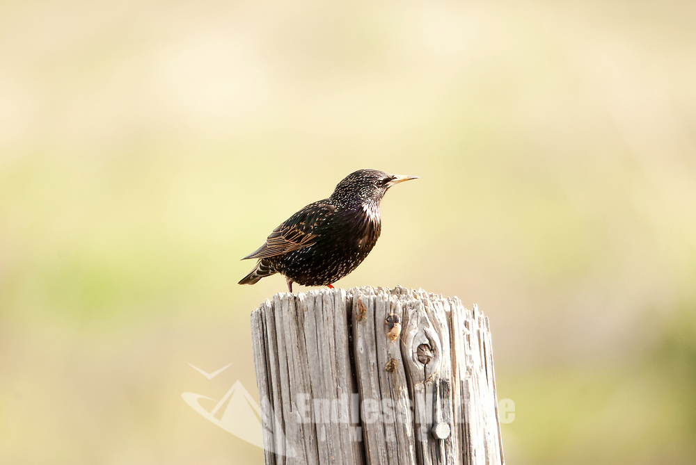 A European Starling sits on an old fence post taking a short rest before joining back up with its flock feeding on the ground for insects and seeds.
