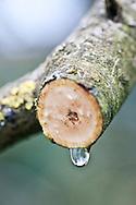 Juglans regia (common walnut)<br /> <br /> <br /> <br /> photography &copy; Andrea Jones