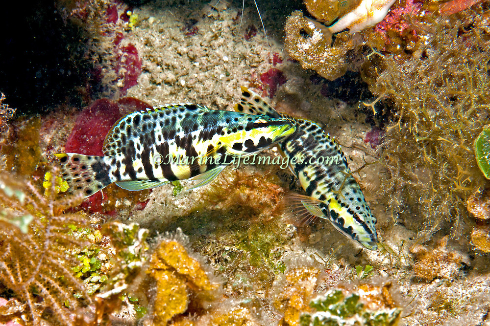 Harlequin Bass inhabit low profile reefs, areas of coral rubble and sea grass beds in Tropical West Atlantic; picture taken Little Cayman.
