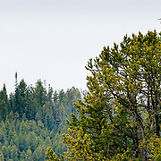 A great blue heron sits a top a tree looking for breakfast in Grand Teton National Park, Wyoming.