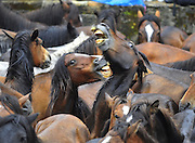 Galicia, Spain -  <br /> <br /> Taming of The Beasts<br /> <br /> On the first weekend of July, hundreds of wild horses are rounded up during the 'Rapa Das Bestas' (taming of the beasts) in different villages in the Spanish northwestern region of Galicia. The more than 400-year-old festival lasts four-days, during which the horses are wrestled to the ground by hand to have their manes and tails sheared. The festival sees horses herded down from the mountains by Aloitadores, or fighters, who work in teams of three to overpower them. Thousands of visitors descended on the small village to watch the fighters man-handle the wild animals into submission. The horses used in the festival live in a semi-feral state in the nearby mountains. Wrestling the animals, which can weigh several hundred kilograms, is seen as a test of strength and will<br /> <br /> Two horses fight during the Rapa das Bestas traditional event in the Spanish northwestern village of Sabucedo<br /> &copy;Marcio Machado/Exclusivepix media