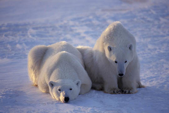 Polar Bear, (Ursus maritimus) Mother and cub. Churchill, Manitoba. Canada.