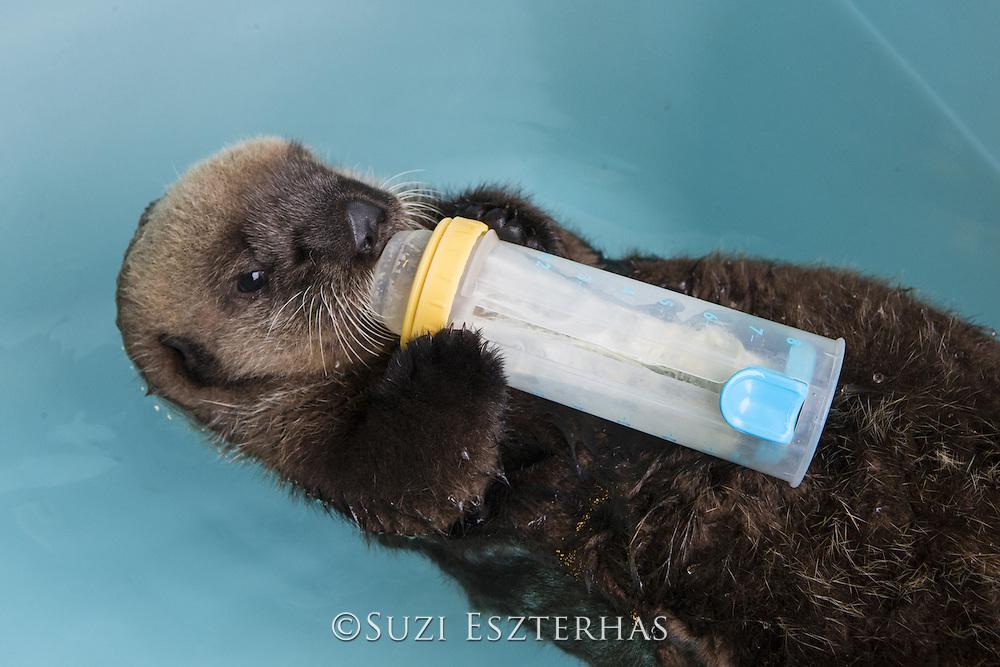 Northern sea otter<br /> Enhydra lutris <br /> Three-month-old orphaned pup bottle-feeding<br /> Alaska Sea Life Center, Seward, Alaska