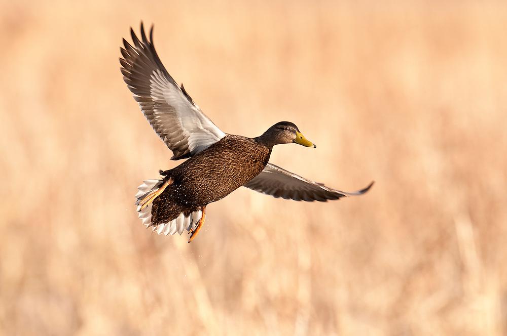 American Black Duck, Anas rubripes, Shiawassee NWR, Saginaw County, Michigan