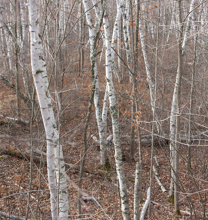 Winter woodland panorama, Rusk co. Wisconsin