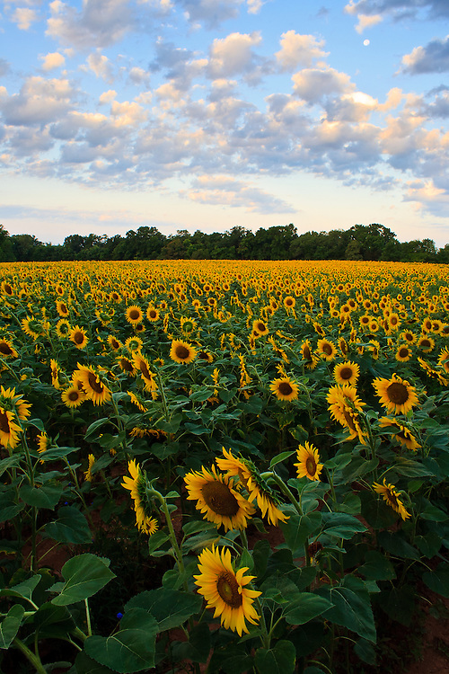 Acres of sunflowers (Helianthus annuus), planted to attract game bird species, underneath a sunrise sky and setting moon, McKee-Beshers Wildlife Management Area, Poolesville, Maryland.