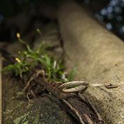 Brown Whip Snake (Dryophiops rubescens) in Kaeng Krachan national park, Thailand
