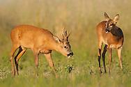 Roe Deer (Capreolus capreolus) doe and buck in set-aside field, courting behaviour Norfolk, UK.