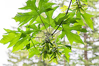 """Perhaps the most common and recognizable native hardwood tree in the Pacific Northwest, the bigleaf maple is the largest maple in the area, and the leaves are a prized food source for deer and elk. Pictured here are the winged seeds so commonly and widely recognized by most people. Called samaras, these twin seeds when dried and mature, will split and """"whirlybird""""  down to the forest floor, and with any luck will sprout. This one was found growing near the edge of Deep Lake, near Enumclaw, WA."""