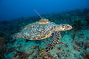 Hawksbill Sea Turtle, Eretmochelys imbricata, equipped with a tracking device on its carapace so scientists can monitor its movements along the Southeast Florida coastline.