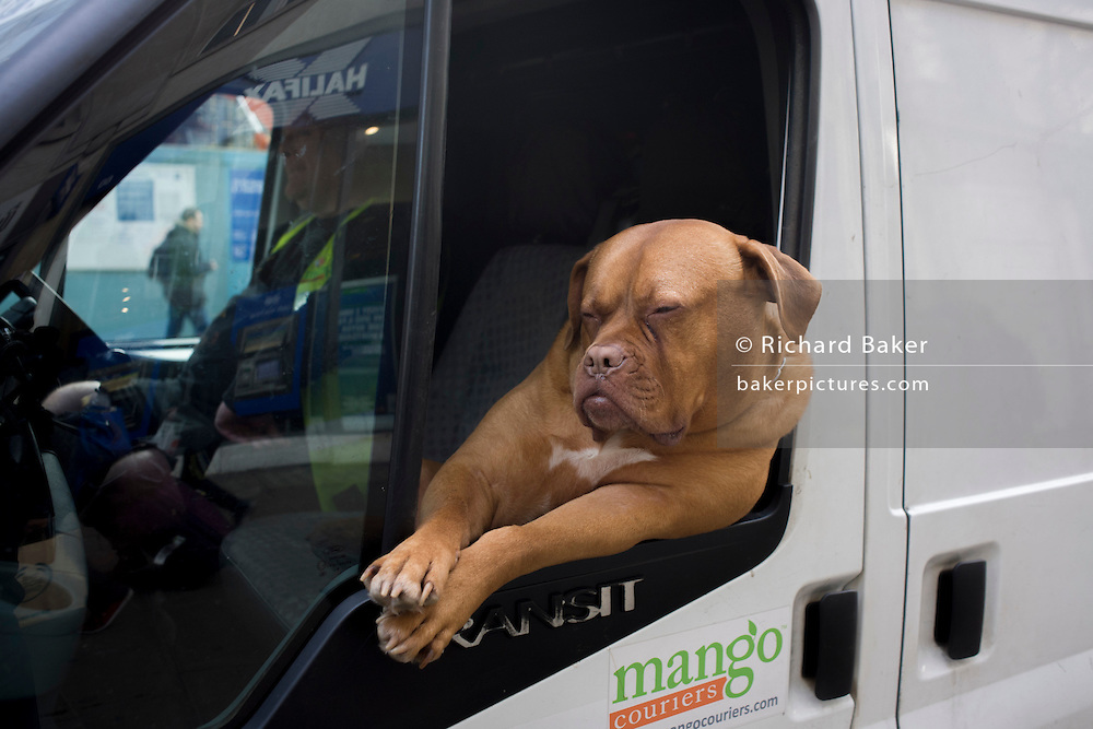 A pet Dogue de Bordeaux dog sits leaning out of the front passenger seat of a white courier van in central London. The Dogue de Bordeaux, Bordeaux Mastiff, French Mastiff or Bordeauxdog is a large Mastiff and one of the most ancient of French dog breeds.