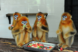 60263650  <br /> Golden monkeys eat watermelons at an air-conditioned room to relieve the summer heat at the zoo of Yangzhou, east China's Jiangsu Province, July 31, 2013. Staff members of the park provided ice, fruits as well as air conditioners to animals Wednesday here to help them cope with the relentless heat in Yangzhou, China<br /> Wednesday, July 31, 2013<br /> Picture by imago / i-Images<br /> UK ONLY