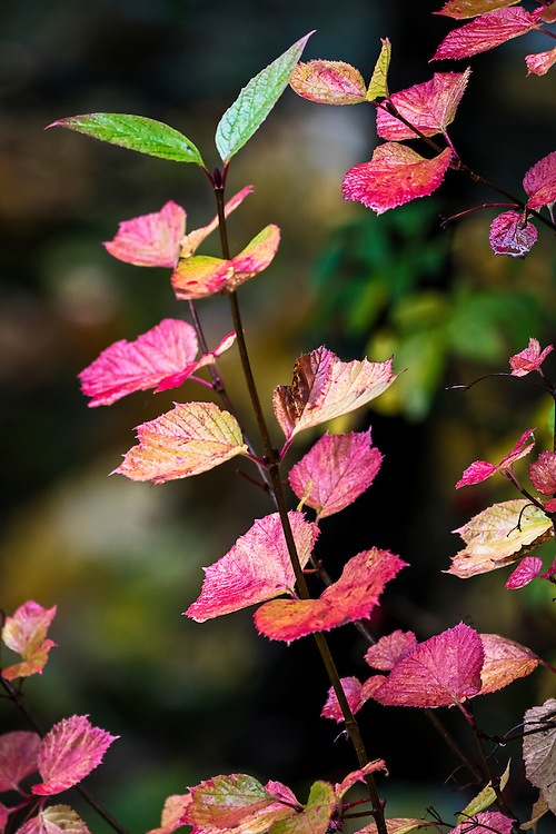 Alaska.  High-bush Cranberry shrub (Viburnum edule) on which all but two leaves have turned yellow and crimson in September on the Kenai Peninsula near Ptarmigan Creek.