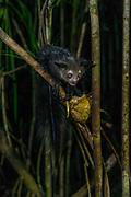 Aye-Aye (Daubentonia madagascariensis), is a rare primate found only on Madagascar.