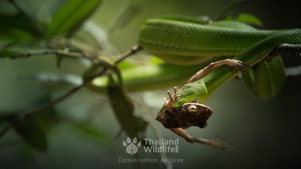 White-Lipped Pit Viper (Trimeresurus albolabris) preying on Spot-legged tree frog (Polypedates megacephalus) in Kaeng Krachan national park, Thailand