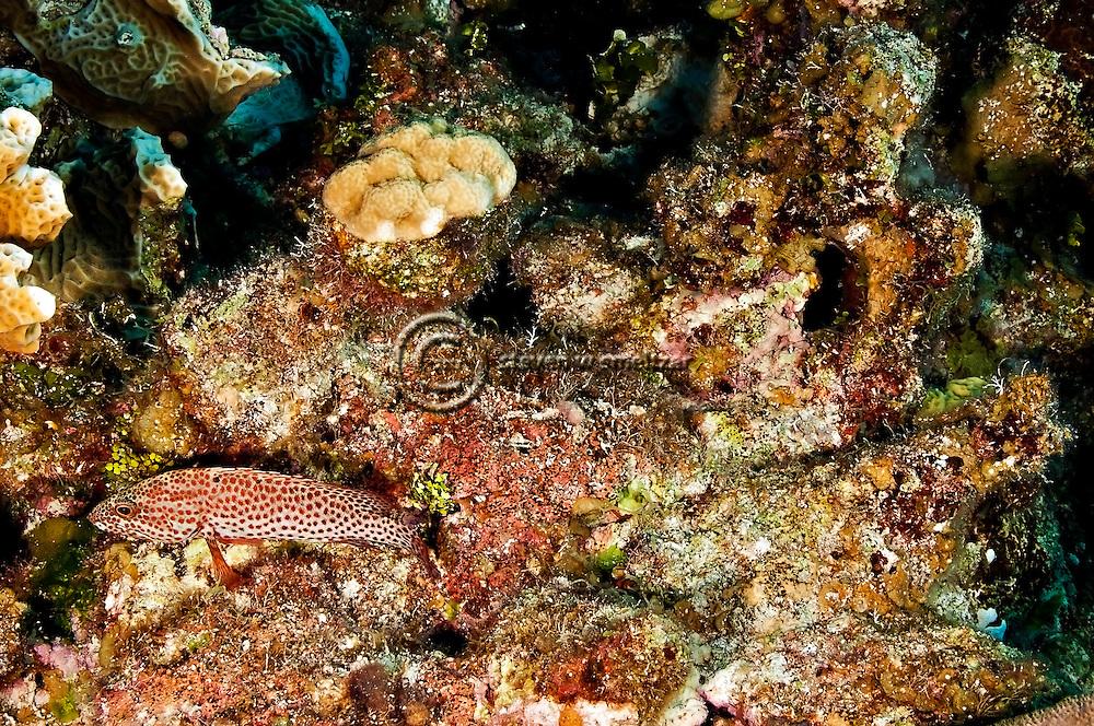 Graysby, Cephalopholis cruentatus, Grand Cayman
