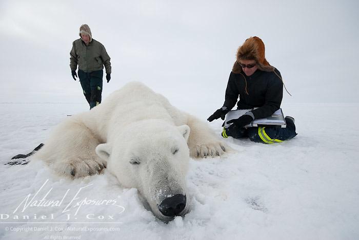 Dr. Steve Amstrup , USGS biologist and Karyn Rode, field assitant, taking field data from an immobilized large male polar bear (Ursus maritimus). Kaktovik, Alaska..