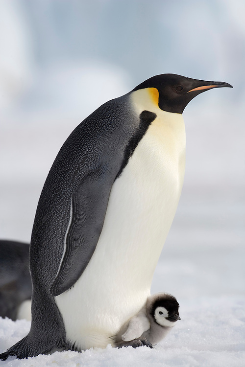Antarctica, Snow Hill Island, Emperor Penguin (Aptenodytes forsteri) with chick sitting on feet on frozen sea ice on sunny afternoon