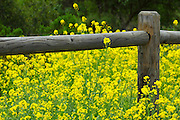 Wood Fence In The Mustard Field