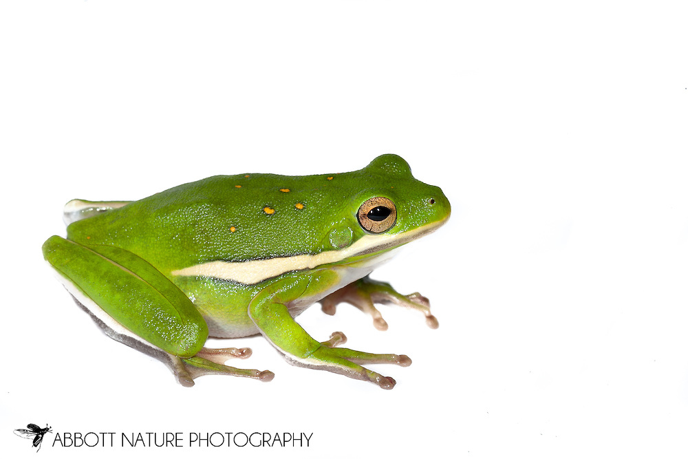 Green Tree Frog (Hyla cinerea)<br /> TEXAS: Harrison Co.<br /> Caddo Lake NWR @ Karmack <br /> 29.May.2011<br /> J.C. Abbott #2508