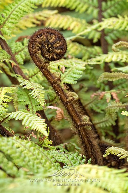 New Zealand fern frond, Stewart Island
