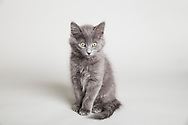 Fuzzy Gray Kitten