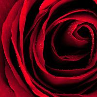 Rose Botanicals