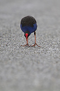Pukeko, Glenorchy, New Zealand