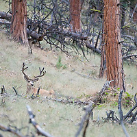mule deer buck velvet bedded in pine forest
