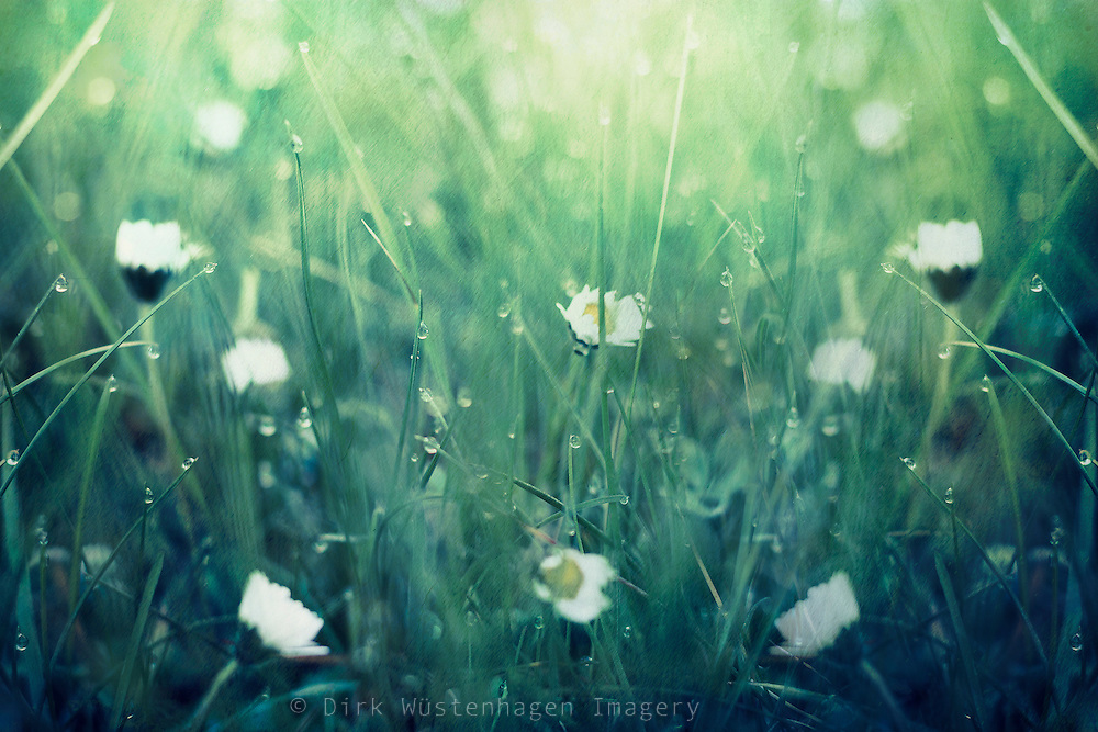 close up of daisies and grass leaves on a spring morning - texturized photograph