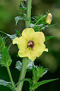 MOTH MULLEIN Verbascum blattaria (Scrophulariaceae) Height to 1.3m. Upright slender biennial, or short-lived perennial with angled stems that are stickily-hairy above. Grows on waste ground and in damp, grassy places. FLOWERS are 2-3cm across and usually yellow but sometimes pinkish white, the stamens coated in purplish hairs; solitary and borne in open spikes (Jun-Sep). FRUITS are capsules. LEAVES are shiny, dark green and hairless. STATUS-Occasional, S and E England only.