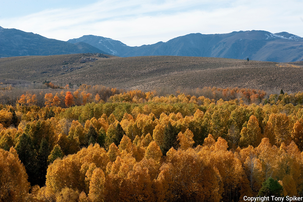 """Fall Aspens in Lee Vining 1"" - A photograph of fall Aspens along Highway 395 at Conway Summit, near Lee Vining, California"