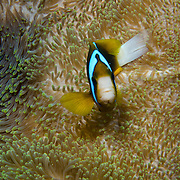 A clown fish (or anemone fish) wards off an intruder against the anemone on the Great Barrier Reef, Australia.