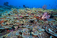 Healthy Scroll Corals proliferate on the reef<br /> <br /> Shot in Indonesia