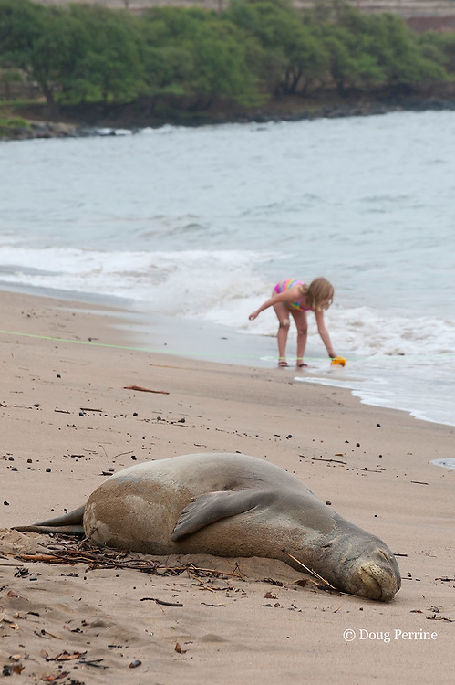 Hawaiian monk seal, Monachus schauinslandi, Critically Endangered endemic species, adult female resting on beach with girl playing on beach in background, separated from seal by a section of green line demarcating a temporary seal protection zone; Canoe Beach, Kaanapali, Maui, Hawaii ( Central Pacific Ocean )
