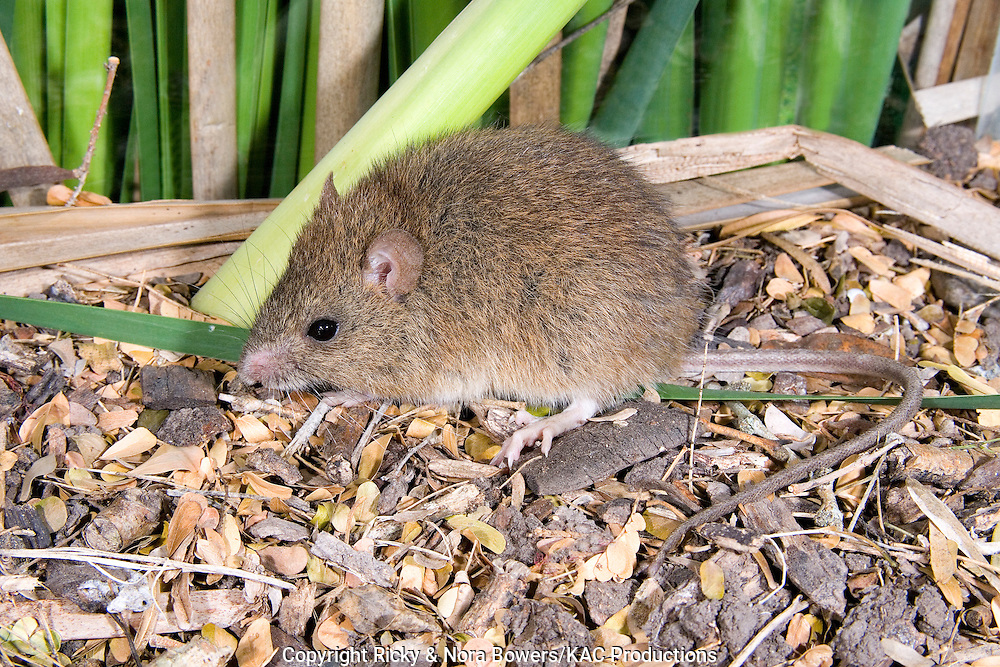 Coues' Rice Rat .Oryzomys couesi .San Benito, Cameron County, Texas, United States.5 April      Adult     Muridae