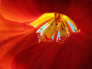 A macro photograph of the inside of a red Nasturtium flower taken in Central Park, New York City.