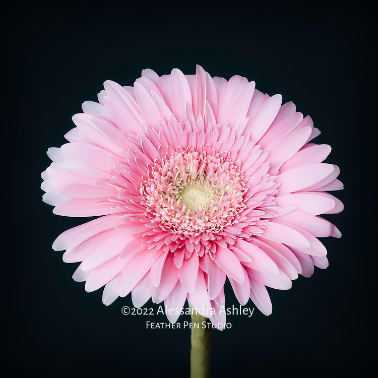Single gerbera daisy in soft pink tones on dark background.