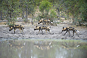 African Wild Dog<br /> Lycaon pictus<br /> Passing waterhole while hunting<br /> Northern Botswana, Africa<br /> *Endangered species